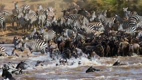 Gnus kreuzen Mara-Fluss Große Systemumstellung kenia tanzania Masai Mara National Park stockbild