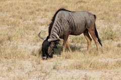 Gnus in Namibia Stock Photo