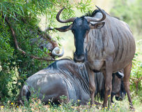 Gnus in the shade Royalty Free Stock Images