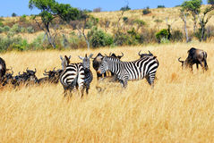 Gnus and zebras Royalty Free Stock Image