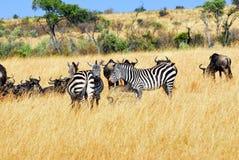 Gnus and zebras Royalty Free Stock Image
