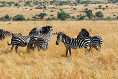 Gnus and zebras Stock Photo