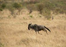 Gnuspring på masaien mara Royaltyfri Foto