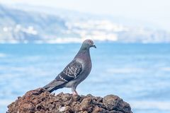 Gołąb na skale morzem obrazy royalty free