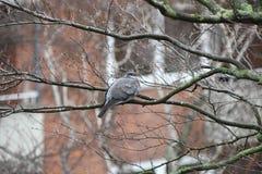 Gołębi ptasi obsiadanie w drzewnych krzakach na ulicie w dżdżystej pogodzie obraz stock