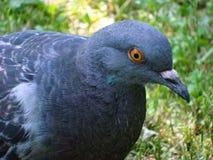 Gołębie szarość w parku zdjęcie stock