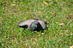 Gołąb Zdjęcie Royalty Free