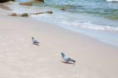 Gołąb chodzi na plaży Obrazy Stock