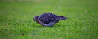 Gołąb, gołąbka, patrzeje dla jedzenia w zielonej trawie Zamyka w górę widoku z szczegółami zamazujący tło Zdjęcia Royalty Free