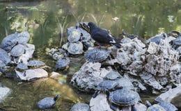 Gołąb i żółwie przy jeziorem Zdjęcia Royalty Free