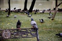 Gołąb Jatujak park Obraz Royalty Free