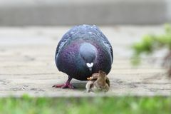Gołąb kwestionuje chlebowego kawałek z wróblem Fotografia Royalty Free