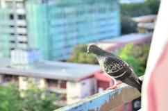 gołąb na balconey Zdjęcia Royalty Free