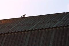 Gołąb na Dachu Zdjęcie Royalty Free
