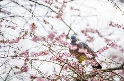 Gołąb na drzewie w wiośnie obraz royalty free