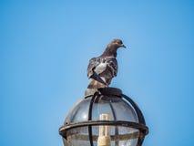 Gołąb na latarni Zdjęcia Royalty Free