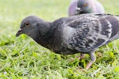 Gołąb na traw spojrzeniach dla niektóre karmowego (Selekcyjna ostrość) Fotografia Royalty Free