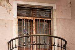 Gołąb Ogląda ulicę Zdjęcie Stock