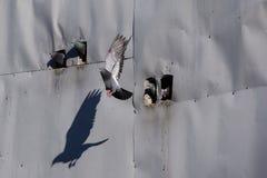 Gołąb opuszcza swój wyczyn w wczesnym poranku w miasteczku Goreme w Cappadocia regionie Turcja Obrazy Stock