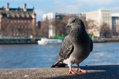 Gołąb przed rzecznym Thames Fotografia Royalty Free
