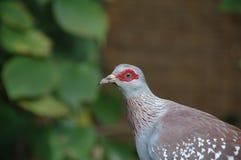 Gołąb, Pstrzący (Columba gwinea) Zdjęcia Stock