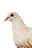 Gołąb, ptak Fotografia Stock