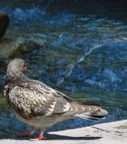 Gołąb w fontannie Zdjęcia Royalty Free
