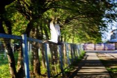 Gołąb w locie, w parku obraz stock