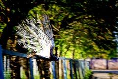 Gołąb w locie, w parku skutek zawalenie się fotografia royalty free