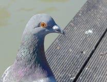 Gołąb w parku Fotografia Royalty Free