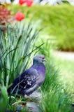 Gołąb w pięknym wiosna ogródzie Zdjęcia Stock