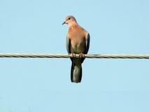 Gołąbek pegeons lub ptaki Obraz Royalty Free