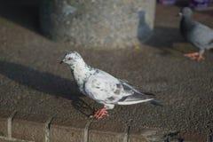 gołąbka Bezpłatny biały gołąbki odprowadzenie wzdłuż ulicy obrazy royalty free
