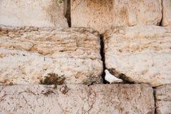 gołąbka biel ścienny zachodni Zdjęcie Royalty Free