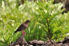gołąbka Galapagos Zdjęcia Stock