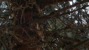 Gołąbka Lata Z drzewa zbiory