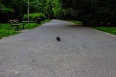 Gołąbka na drodze w parku Tło Obrazy Stock