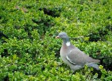 Gołąbka na zieleni. Fotografia Stock
