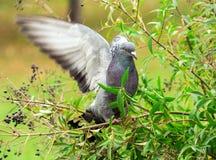 Gołąbka ptak na gałąź Zdjęcie Stock