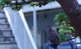 Gołąbka umieszczał na ogrodzeniu pod sosną w mój ogródzie w Japan Fotografia Royalty Free