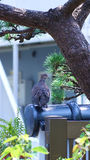 Gołąbka umieszczał na ogrodzeniu pod sosną w mój ogródzie w Japan Zdjęcia Royalty Free