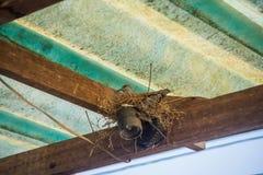 Gołąbka w bezpiecznym gniazdeczku Obraz Royalty Free