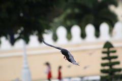 Gołąbka w lota puszku Fotografia Stock