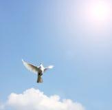 Gołąbka w powietrzu z skrzydłami szeroko otwarty zdjęcia royalty free