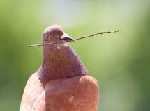 Gołąbka z gałąź w swój belfrze Obrazy Royalty Free