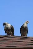 gołąbki dwa Fotografia Royalty Free