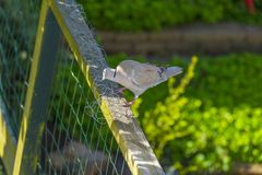 Gołąbki gmeranie dla materiałów budowlanych w ogródzie w wiośnie Fotografia Stock