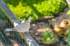 Gołąbki gmeranie dla materiałów budowlanych w ogródzie w wiośnie Fotografia Royalty Free