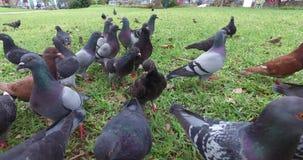 Gołąbki je w parku zbiory