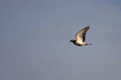 gołąbki latanie Fotografia Royalty Free
